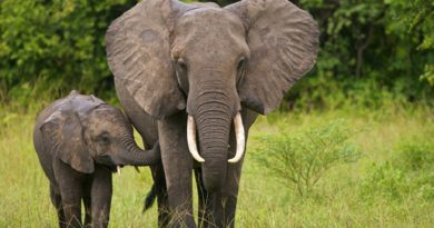 Rivers local council declares wild elephants, hippos as endangered species